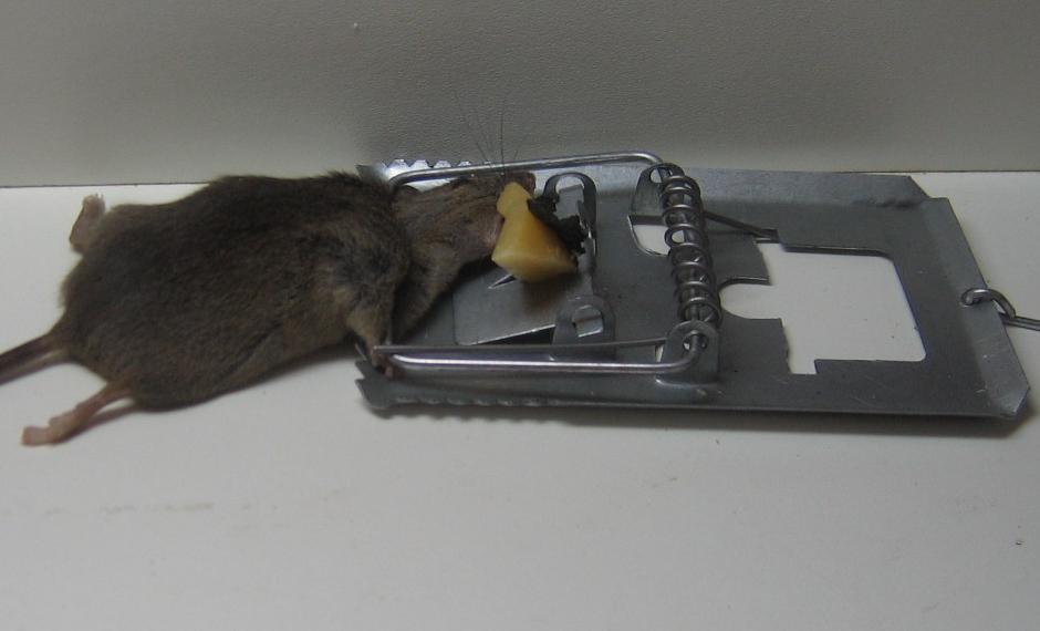 Resultado de imagem para rato em ratoeira